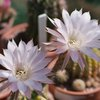 Photo of Echinopsis derenbergii