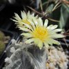 Photo of Astrophytum myriostigma f. columnaris