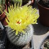 Photo of Notocactus scopa