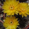 Photo of Echinopsis arachnacantha