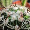 Photo of Stenocactus crispatus