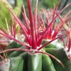 Photo of Ferocactus