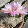 Photo of Gymnocalycium bruchii