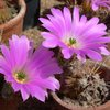 Photo of Echinocereus pentalophus