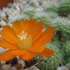 Photo of Rebutia pumila