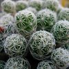 Photo of Mammillaria gracilis