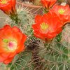 Photo of Echinocereus polyacanthus