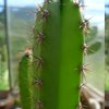 Photo of Cereus jamacaru