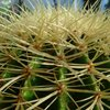 Photo of Echinocactus grusonii