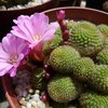 Photo of Rebutia perplexa