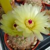 Photo of Notocactus schlosseri